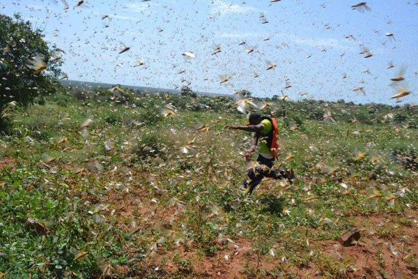 A resident of Kijaci at Gatunga Ward in Tharaka Constituency, Tharaka-Nithi County, makes his way through a swarm of locusts at a farm on February 1, 2020.