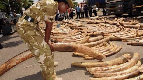 A Kenya Wildlife Service Officer inspecting seized ivory.