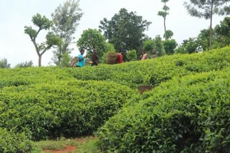 Tea farms Ikweta Safari Camp