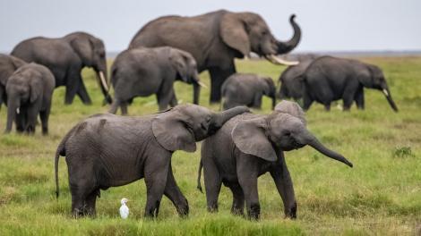 A heard of elephants in Kenya