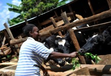 Women in dairy Kenya
