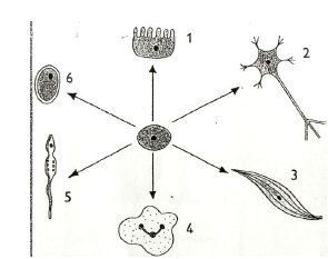 The diagram below shows blood circulation in a bony fish