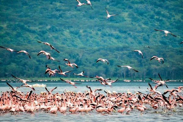 Kenya safari tours flamingoes in Lake Nakuru