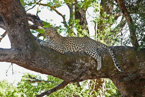 Leopard on tree Kenya camping safari Overland guided tours