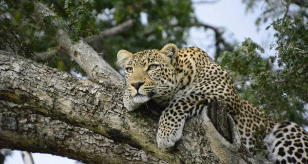 Leopard on tree Kenya safari packages private group