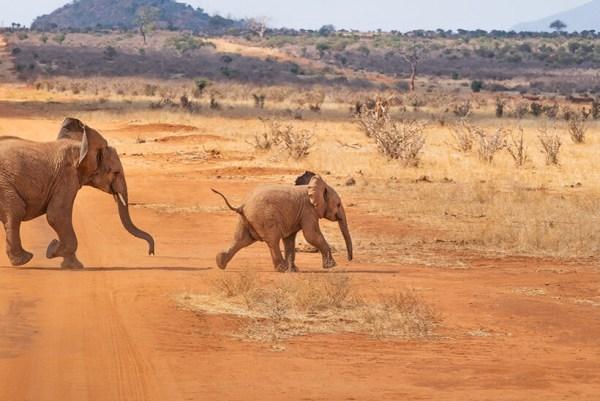 Two baby elephants playing Kenya safari