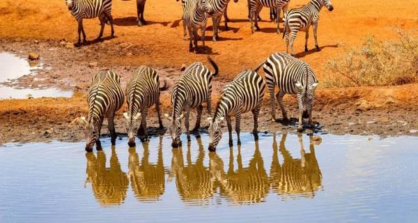 Zebras drinking at river Kenya safari tours Africa