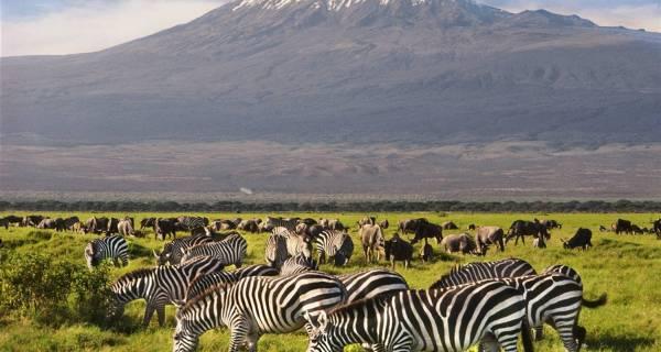 Zebras wildebeests grazing marshes of Amboseli beautiful Mt Kilimanjaro backdrop