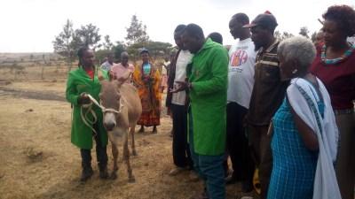 Proper donkey  handling