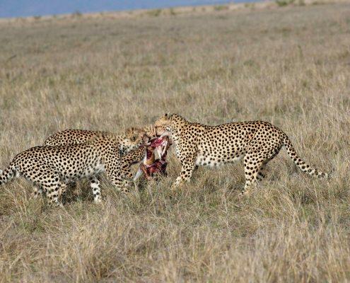 cheetah day - Amani