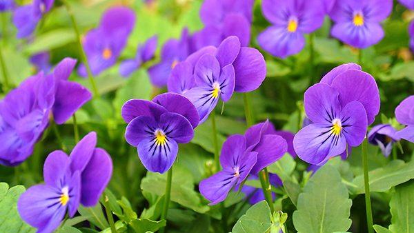 pansies-purple kidmore end summer gardening tips