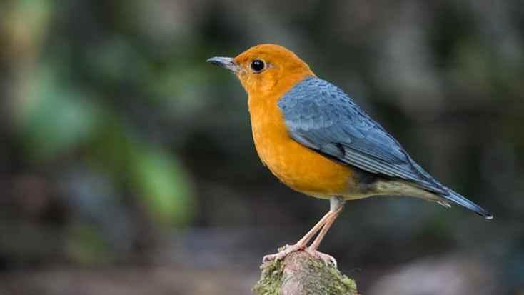 Macam Macam Burung Peliharaan - Burung Anis Merah