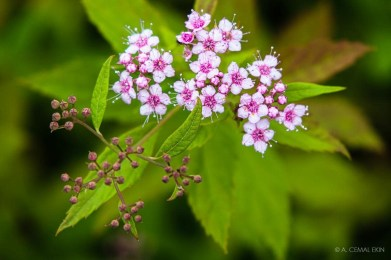 Spiraea japonica, Japanese spiraea