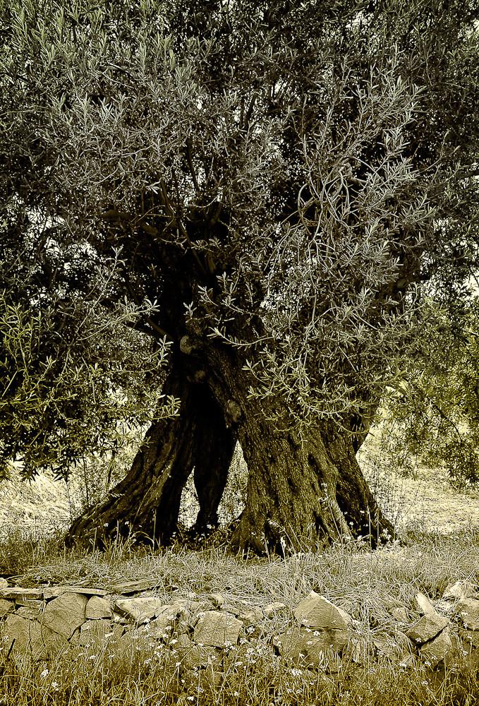 Old Olive Tree, Ayvalik