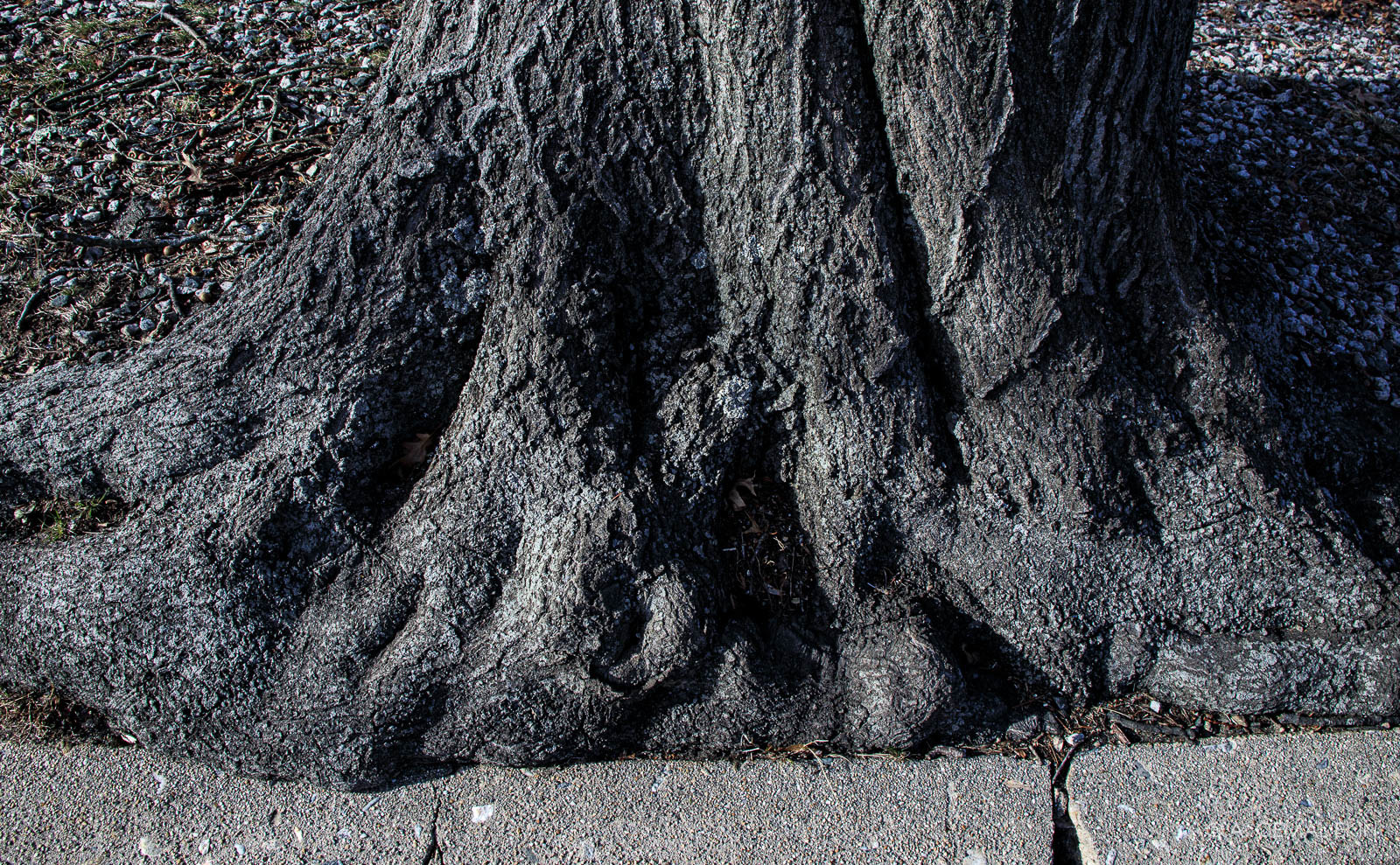 Tree roots fighting with concrete