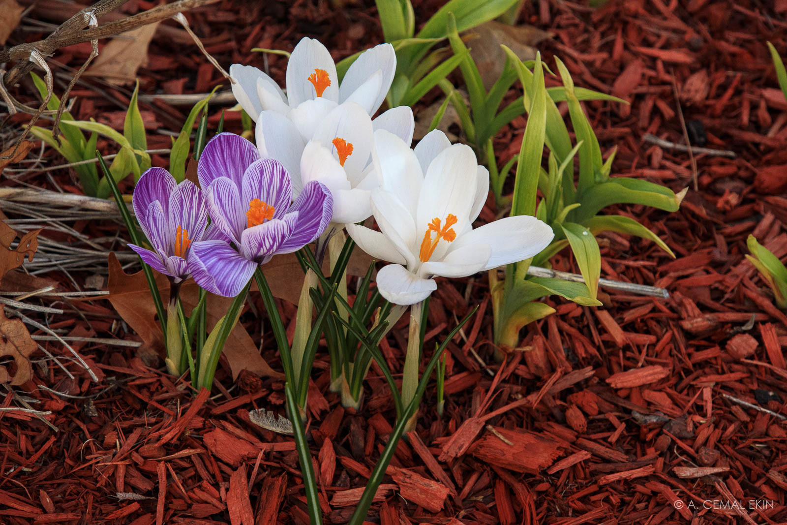 Crocuses in our front yard