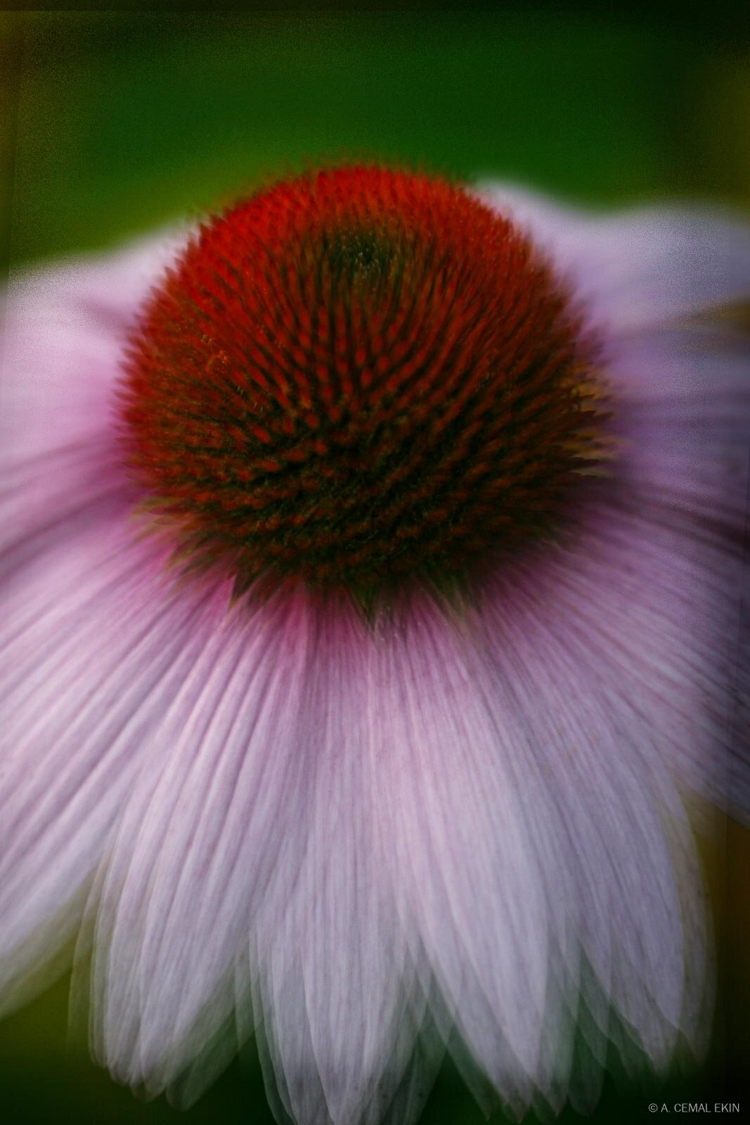 Impressionistic Purple Cone Flower