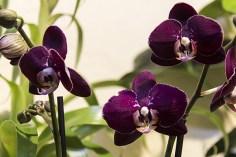 Orchideenausstellung 6-1