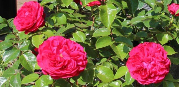 Rosenausstellung-Slider-Homepage