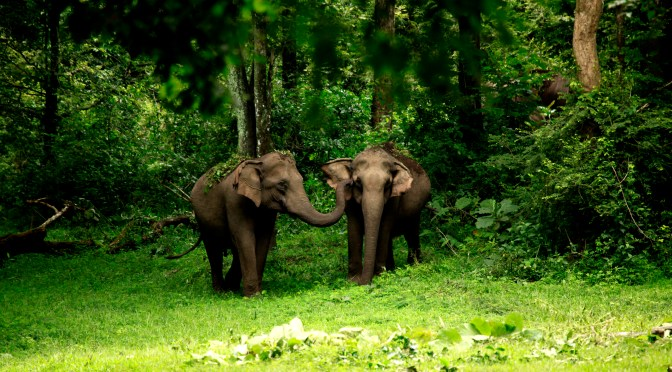 Kerala Wildlife. elephants in wayanad sanctuary