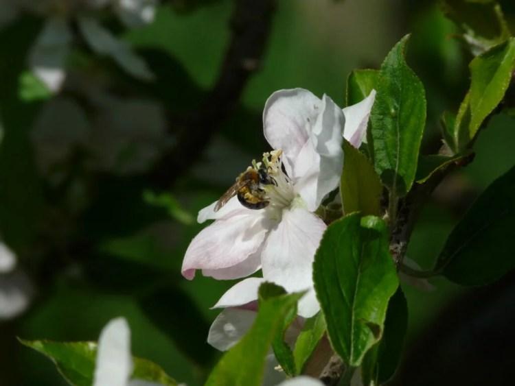 abeille fleurs 2
