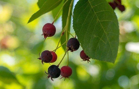 Aronia - Chokeberry Meyvesi