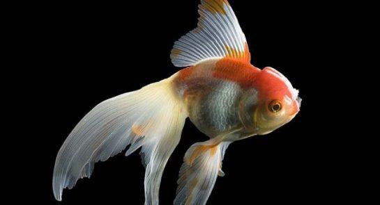 Japon Balıkları