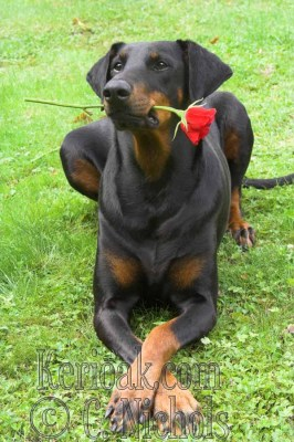 Dobermann with rose