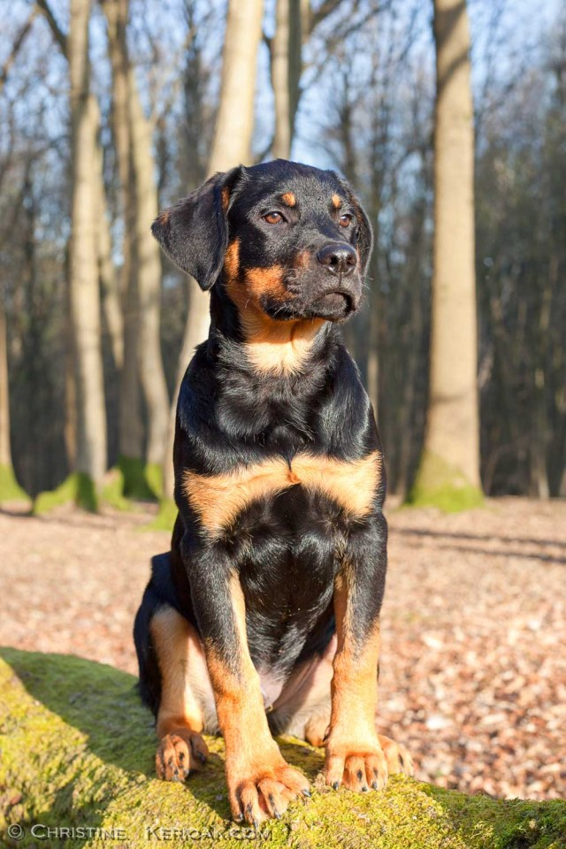 Rottweiler Puppy Sitting on Log A three month old Rottweiler puppy sitting on a large log and looking very majestic. He is sitting showing his front view but looking slightly to the right hand side of the camera and looking really aloof and majestic. One of the first photos of him where he looks like the minature of the proud looking dog he will become rather than a playful puppy. The weather is cold but sunny and the blue sky is showing though the bare winter trees in this lovely woodland scene. This would be a great image to display the majesty of the Rottweiler.