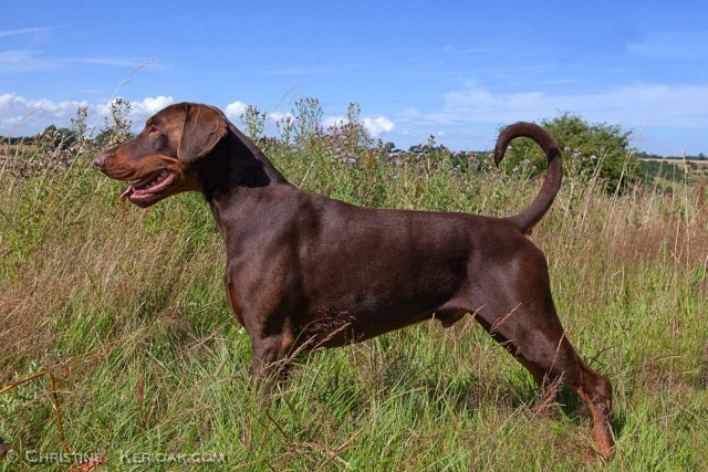 Brown Male Dobermann Standing in Long Grass A handsome, mature young brown male Dobermann dog standing outside in long grass in a lovely natural show stance or stack. He is standing side on in the wild meadown under a sunny blue sky with a few clouds on the distant horizon This would make a lovely calendar photo subject to the relevant licence