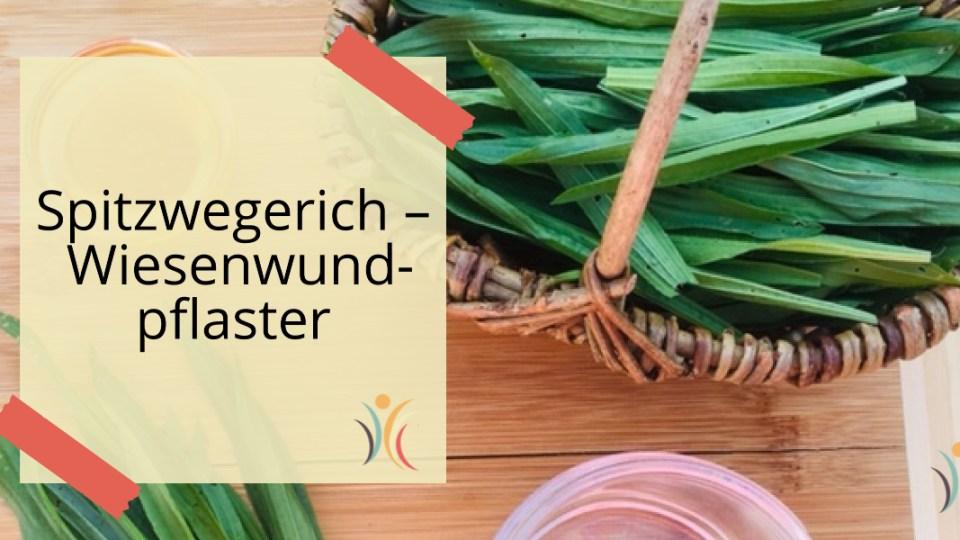 Spitzwegerich-Wiesenwundplaster