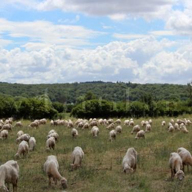 Sovicille, szelíd tájhasználat szelíd bárányokkal