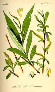 Edward Stone found that the bark of the White Willow (Salix alba) could substitute for Peruvian bark in the treatment of ague. https://en.wikipedia.org/wiki/History_of_aspirin