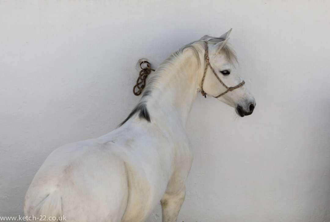 White Andalusian horse in Ronda