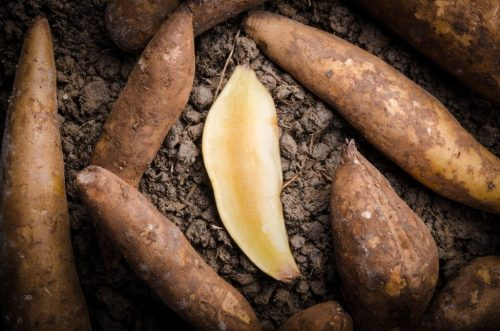 Advantages of Growing Your Own Yacon   keto-vegan.com