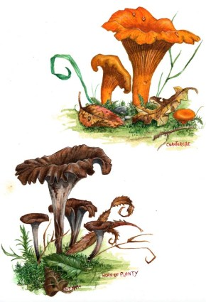 Chanterelle_1999_by_kevcrossley