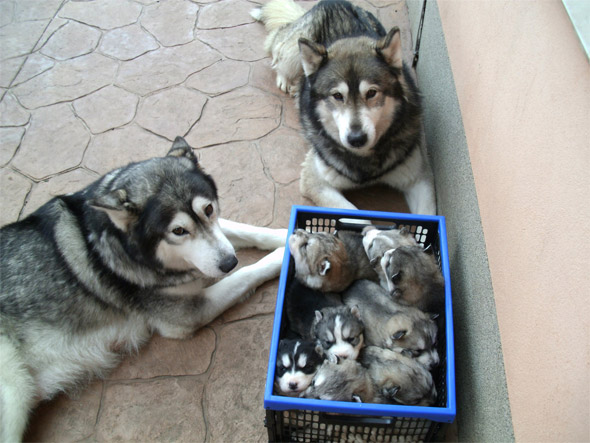 A Basket Full of Puppies