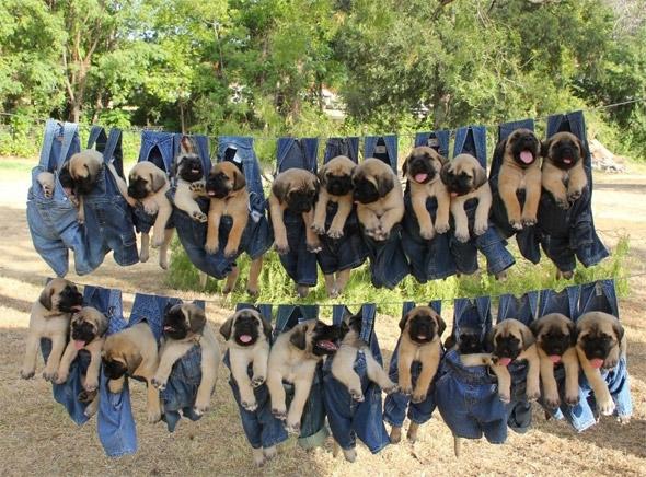 Mastiff Puppies on Laundry Day