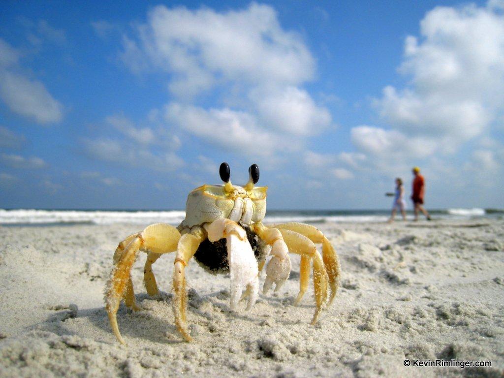 Crab on a beach in Hilton Head Island South Carolina