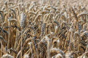 wheat germ agglutinin