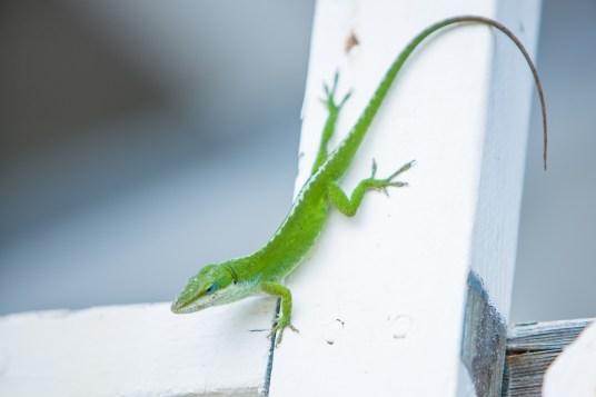 Green lizard in Hawaii.