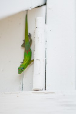 These little geckos are very shy... too shy to sell you insurance.