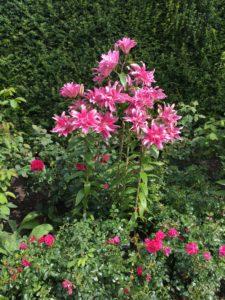 Renishaw oriental lilies