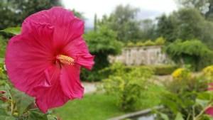 Hibiscus Marlia Spanish Garden
