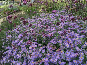 Quarry Bank Mill aster verbena