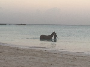 Barbados horse in sea