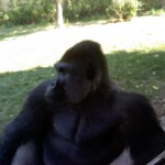 Mbundi, male gorilla, at the Kansas City Zoo (2012)