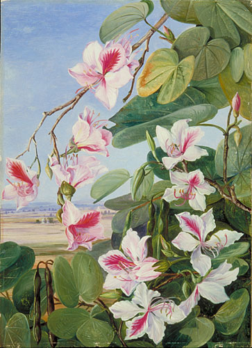 Kew Marianne North Gallery Painting 221 Foliage Flowers and Fruit of a common Indian forest tree