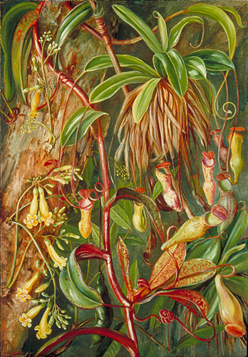 Kew Marianne North Gallery Painting 468 Seychelles Pitcher Plant and Bilimb Marron