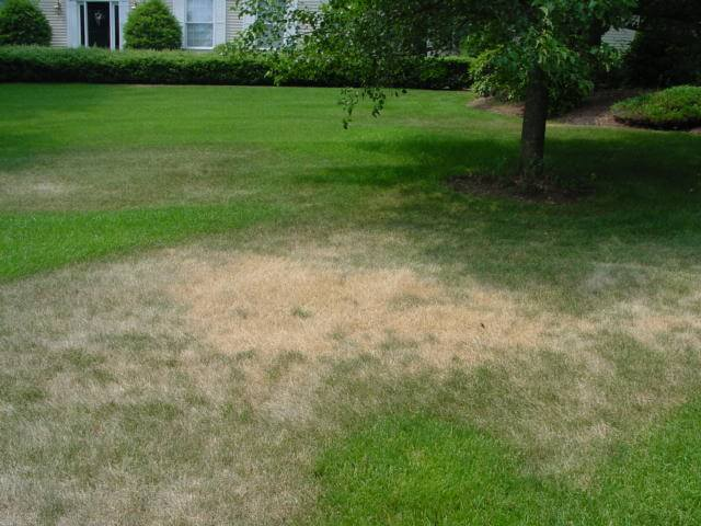 Image result for drought stressed lawn